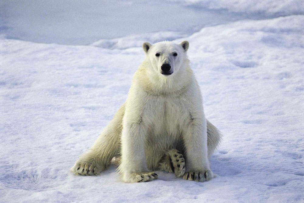 polar_bear_flickr_lwp_kommunikaclo1