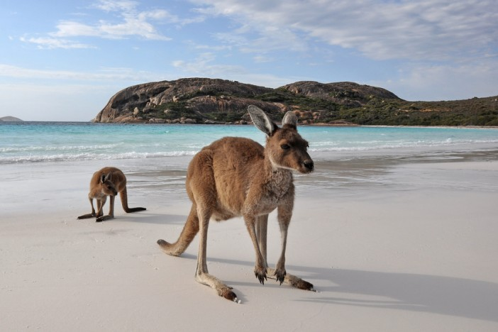 kangaroos on beach australia travel guide
