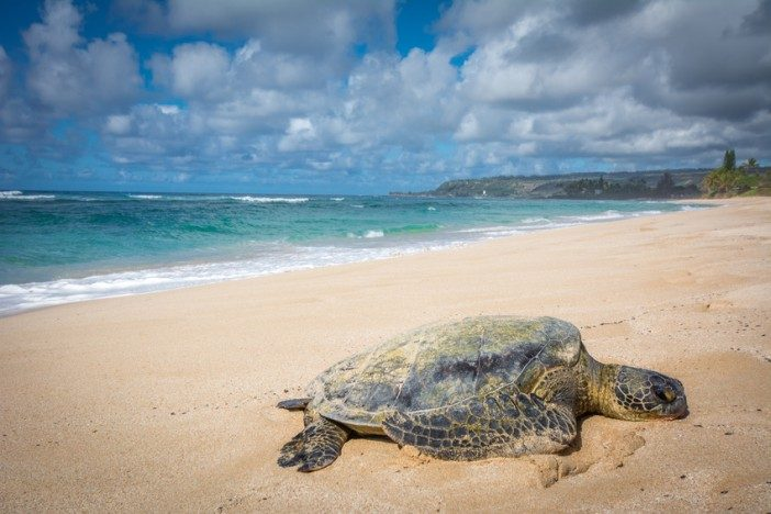 sea-turtle-hawaii