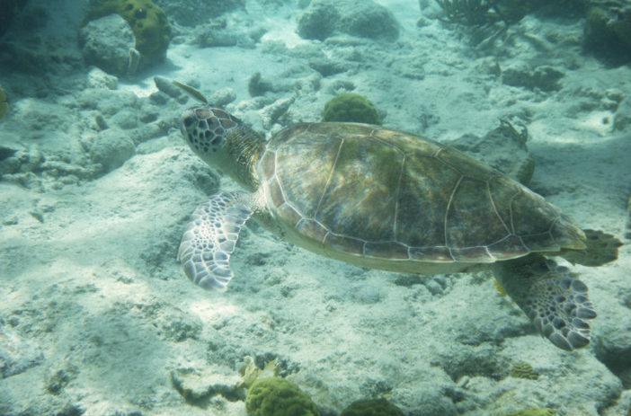 swim with turtles in bonaire