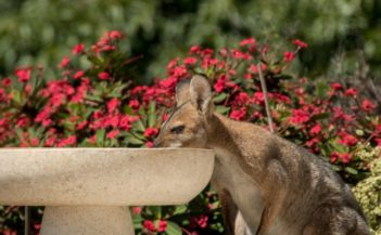 wallaby-pixabay (1)
