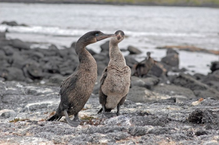 flightless cormorants galapagos